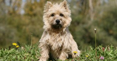 Cairn Terrier Poodle Mix Puppies