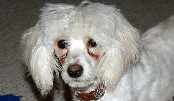 How To Get Rid Of Poodle Tear Stains?