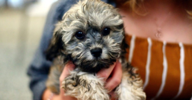 Poodle and Shih Tzu Mixed Puppies