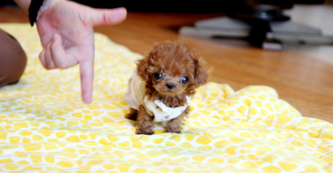 What is the smallest poodle