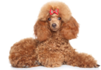 Toy poodle information and facts