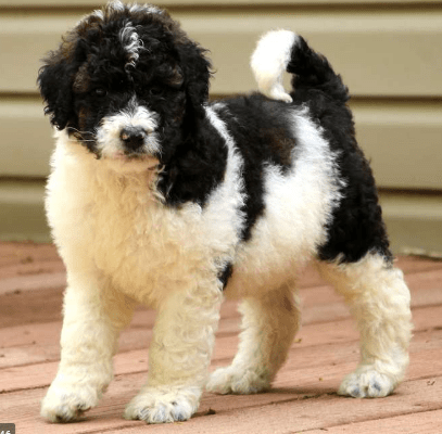 Saint Bernard Poodle Mix Puppies