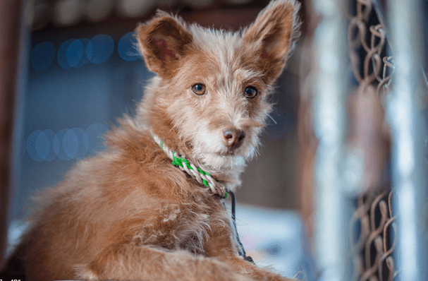 Poodle and Rat Terrier Mix