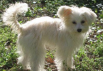 Chinese Crested Powder Puff Poodle Mix