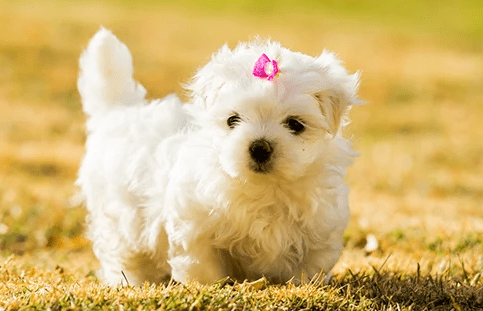 Maltese Mix with a Poodle