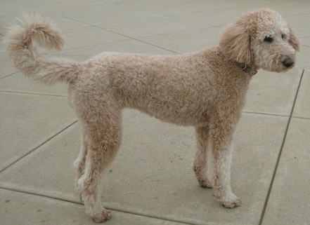 Standard poodle and golden retriever mix