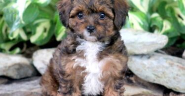 Poodle and Yorkie Mixed Puppies