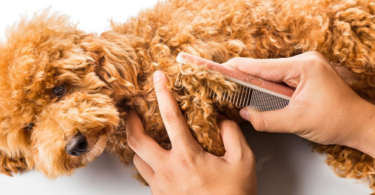 How to Groom A Miniature Poodle