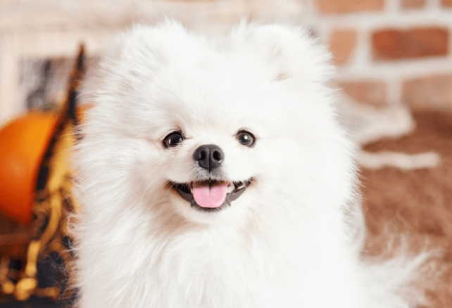 How to Stop a Pomeranian from barking?