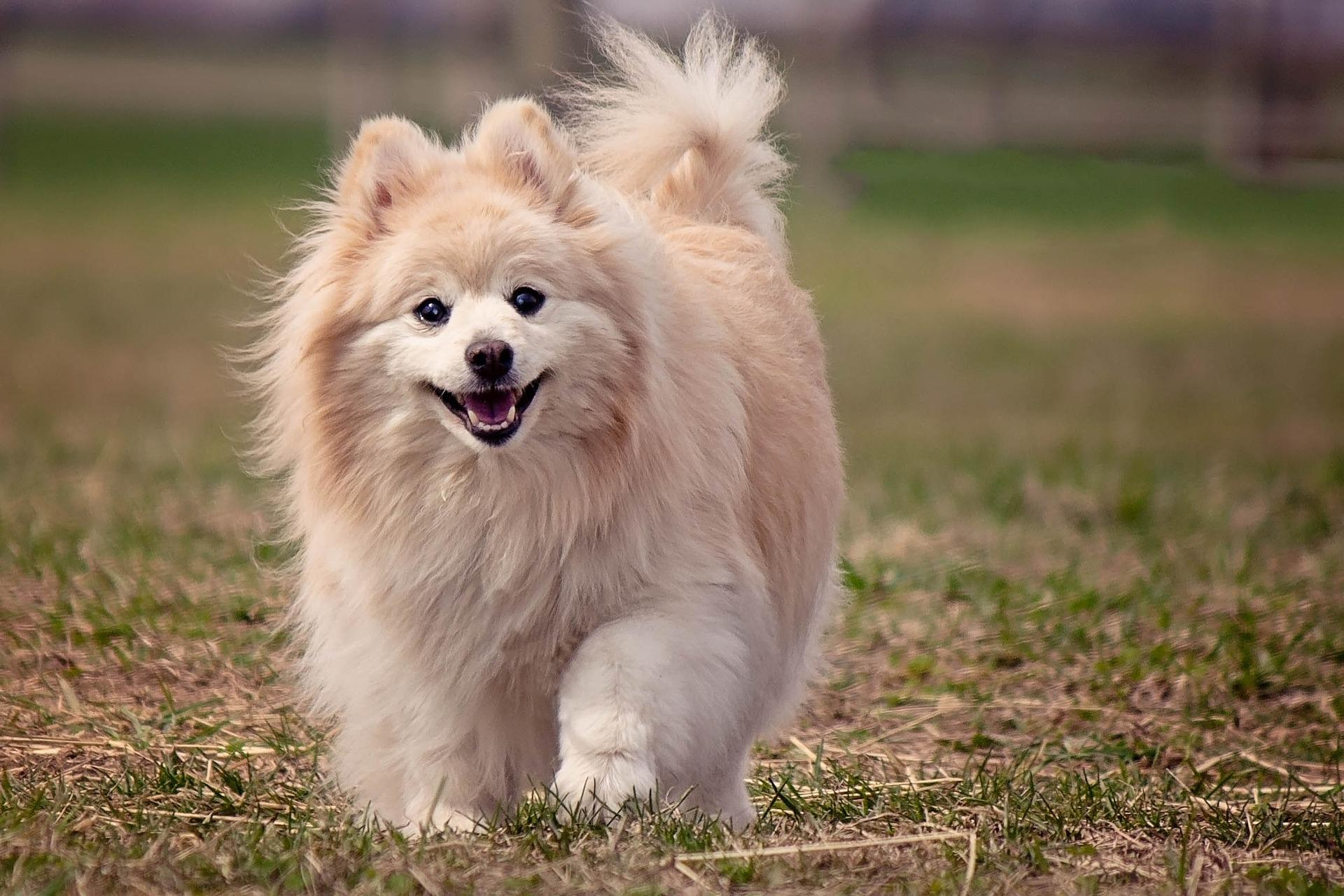 Crate Training a Pomeranian Puppy
