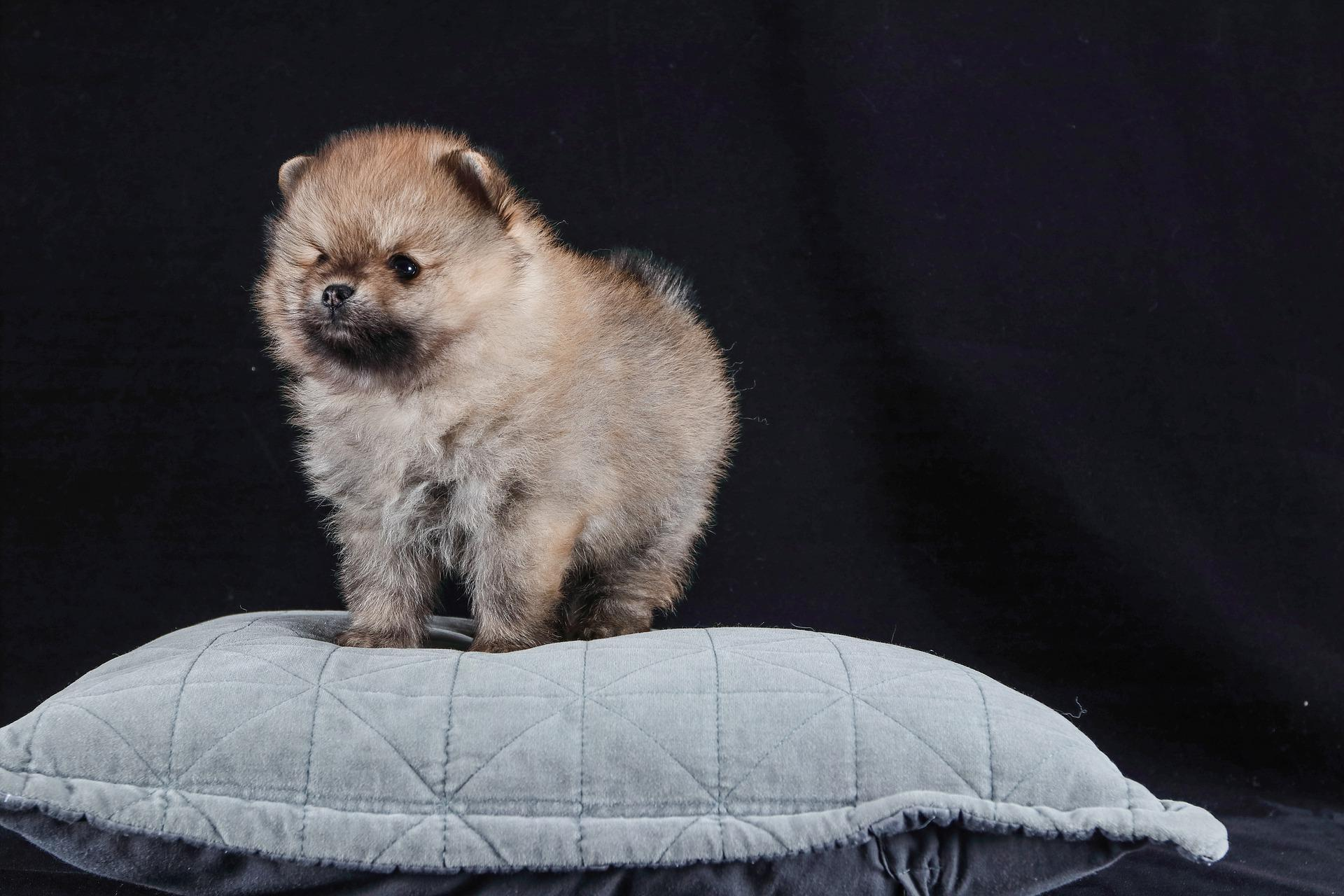 How To Take Care For A Pomeranian Puppy?
