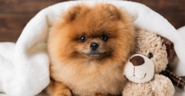 """""""Teacup Pomeranian information and facts"""","""