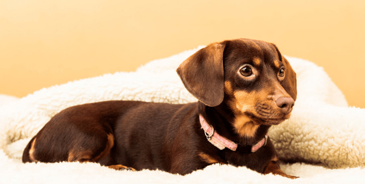 Chihuahua Mixed With Wiener Dog