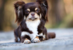 What Does a Long-haired Chihuahua Look Like?