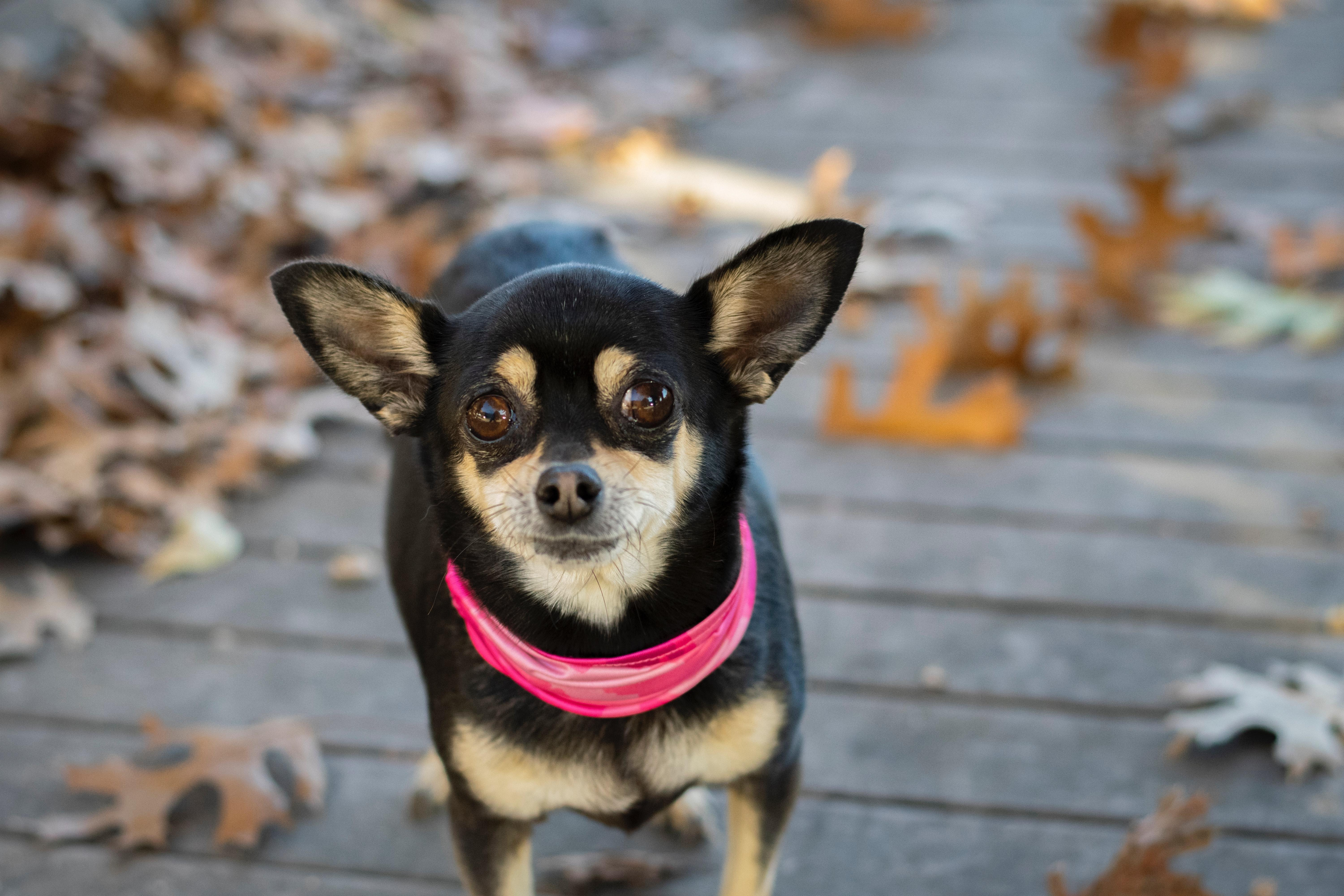 What can I give my Chihuahua for pain