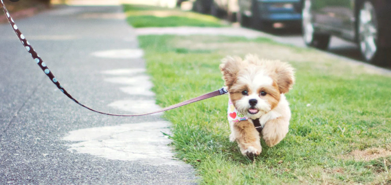 When Can I Take My Puppy For A Walk